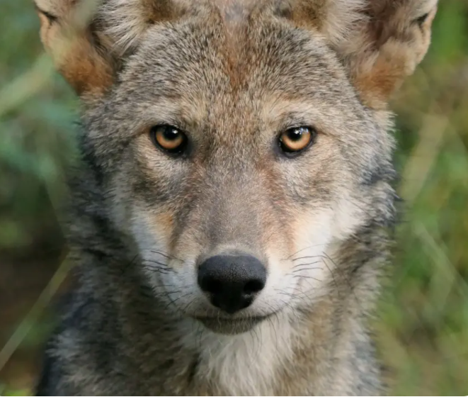 Pilots To The Rescue transports critically endangered American Red Wolf